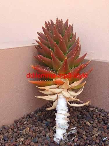 siesta: kaktus