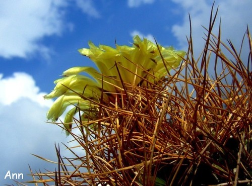 Himmelsstürmerin: Kaktus