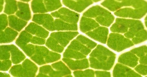 Chlorophyll: Weinblatt