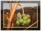 Herbst Trauben