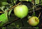 Apfelregen