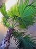 Palmenruh