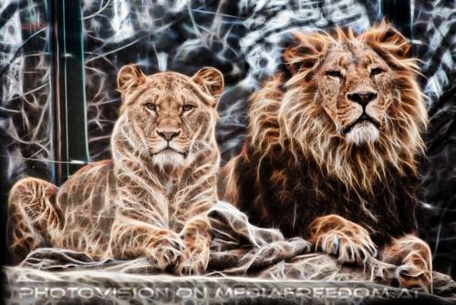 Afrikanische Löwen 5 Vision