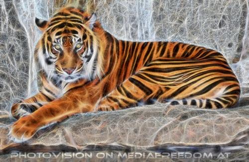 Sumatra Tiger 02