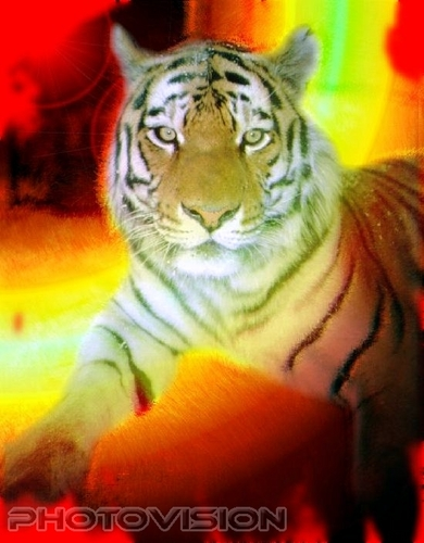 Tiger Heat
