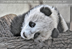 Kleiner großer Panda 04