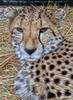 Geparde 5