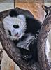 Kleiner großer Panda 17