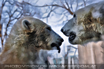 Eisbären 13