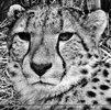 Geparde 9