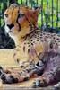 Geparden Familie 15