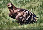 Greifvogel Flugschau 26