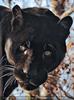 Jaguare 6
