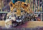 Leoparden Spiele 09