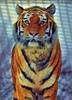 Sibirische Tiger 23