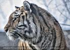Sibirischer Tiger 03