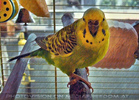 Budgie Care 1
