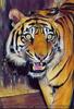 Sumatra Tiger 25