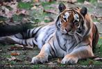 Tiger Park 06