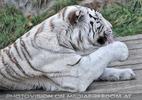 Weiße Tiger 25