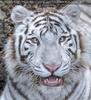 White Tiger Salim 14