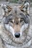 Wolfsrudel 3