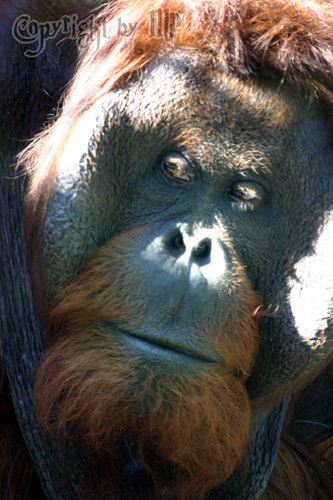 1 Gen entfernt: Borneo Orang Utan