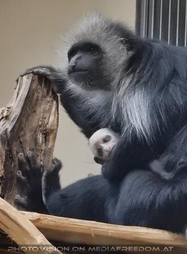 Bärenstumelaffen Mama mit Baby 04
