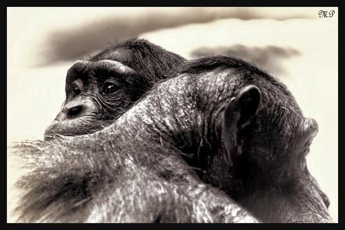 Schimpansen Geborgenheit