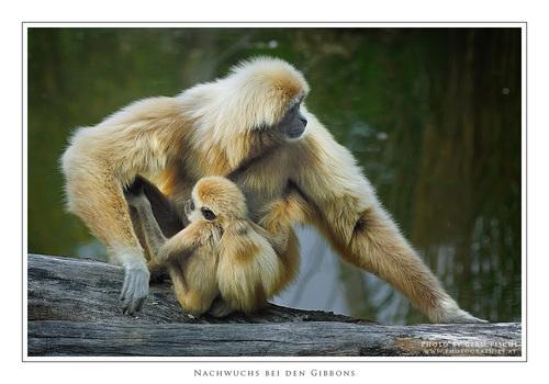Gibbon-Nachwuchs in Schönbrunn