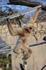 Gibbon 2