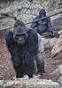 Gorilla Bai 02