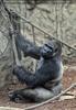 Gorilla Bai 03