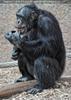 Schimpansen 01