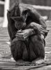 Schimpansen 04