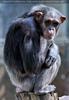 Schimpansen 09