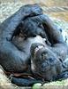 Schimpansin mit Baby