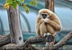 Gibbon 1