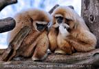 Gibbons 1