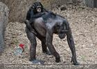 Schimpansen 02