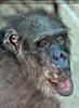Schimpansen 03