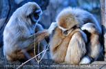 Gibbons 2