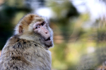 Berberaffe (Macaca sylvanus)