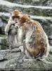 Affen Gespräch