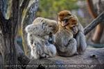 Affenfamilie 1