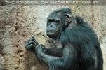 Die Schimpansen 1
