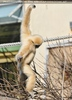 Gibbon balanciert