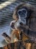 Gibbon Familie 01