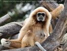 Gibbon Mutter