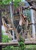Gibbons 01